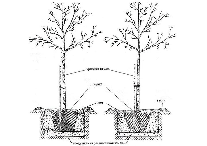 Деревья крупномеры на участке. Виды, правила посадки, пересадки и ухода